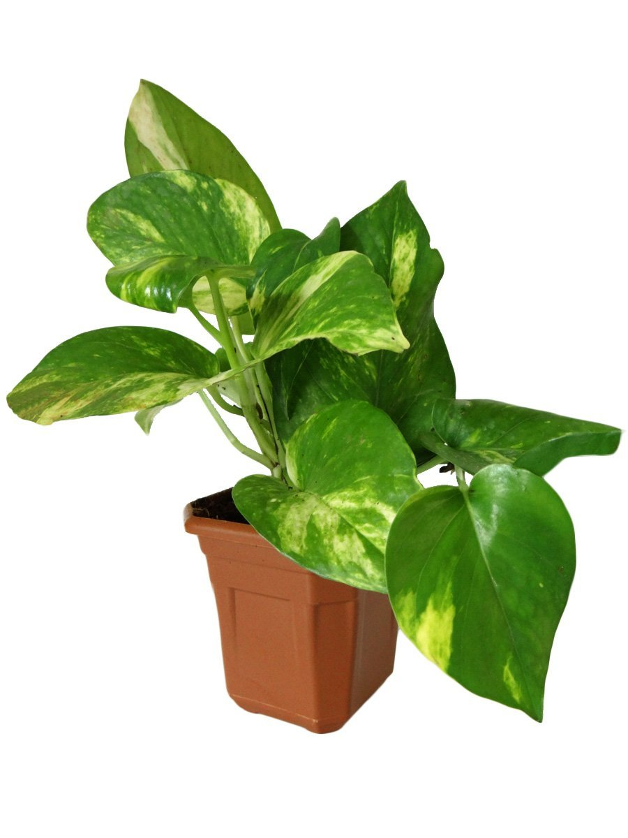 Amazon Offer : Rolling Nature Good Luck Money Plant In Brown Hexa Pot