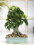 Myntra : Fourwalls Green & Blue Artificial Ficus Bonsai with Ceramic Pot at Rs.1500
