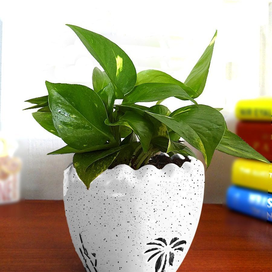 Amazon India : Rolling Nature Good Luck Air Purifying Live Money Plant at Rs.415